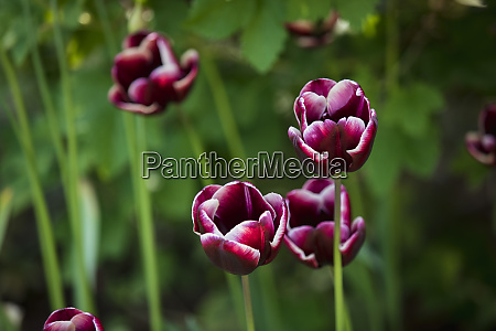 close up of magenta tulips