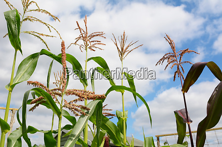 pollen on a sweetcorn tassel with