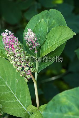 pokeweeds or inkberry phytolacca acinosa