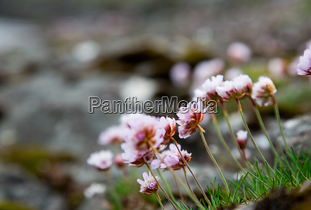 verbena beautiful flower sea and mountain