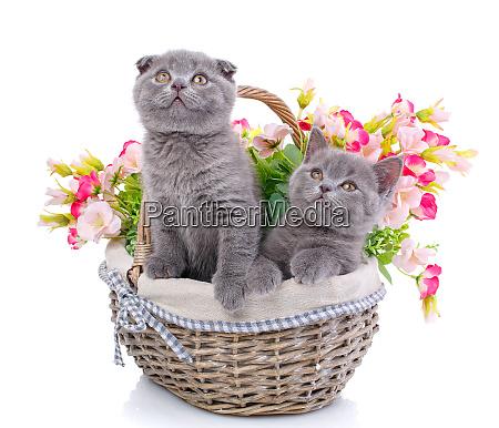scottish straight and scottish fold kittens