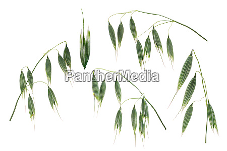 oat ears a sativum paths