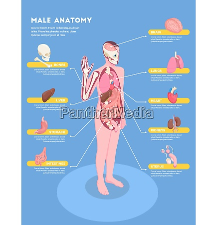male anatomy infographics with internal organs
