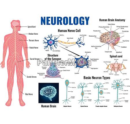 neurology and human brain anatomy set