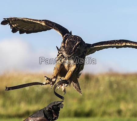 european eagle owls in flight