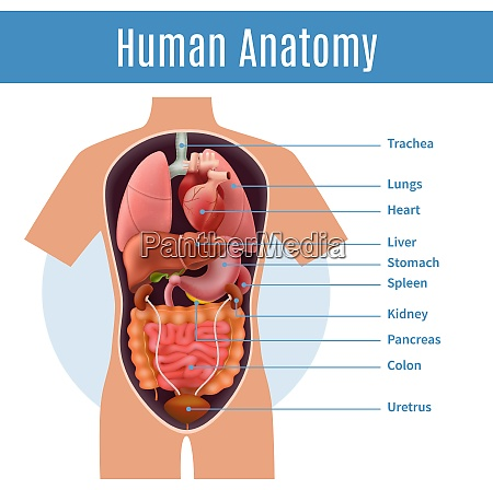 human anatomy poster with body organs