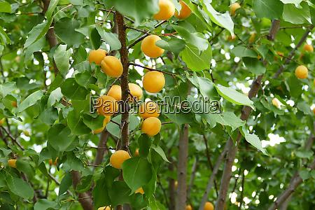 apricot tree ripening apricots natural apricots