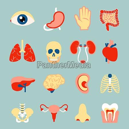 human organs set of eye tooth