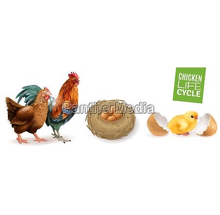 chicken life cycle realistic horizontal set