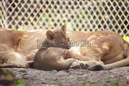 baby african lion cub panthera leo