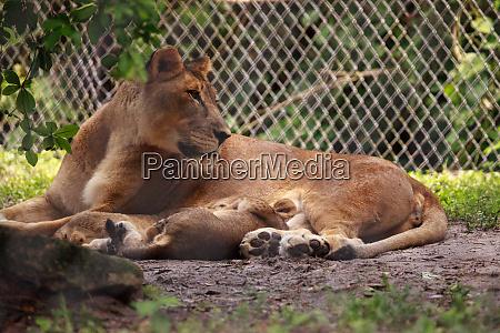 nursing female african lioness panthera leo