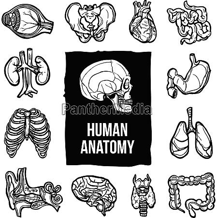human anatomy internal body organs sketch