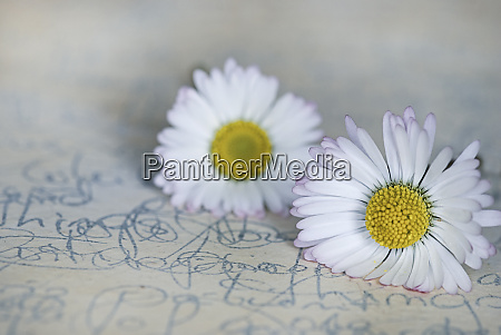 still life with white daisy flowers