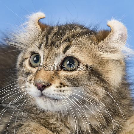 cats american curl 2019 17960q