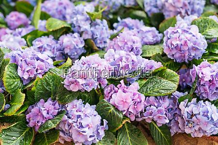 purple hydrangea flower in flower fields
