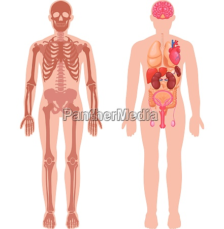 human anatomy set with skeleton structure