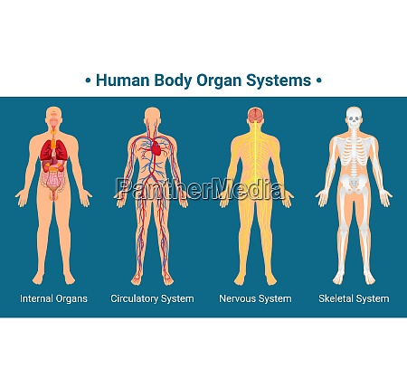 human body internal organs circulatory nervous