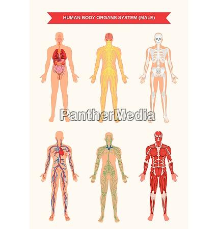 male body internal organs circulatory nervous