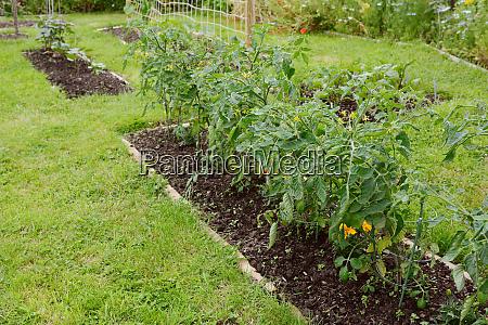 row of cherry tomato plants growing