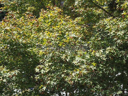 green leaves of red maple tree