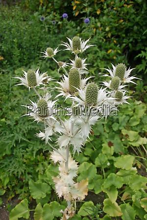 ornamental sea holly flowers