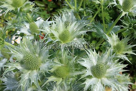 ornamental sea holly in flower