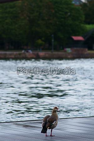 egyptian goose on the boardwalk