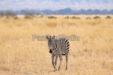 zebra lonely