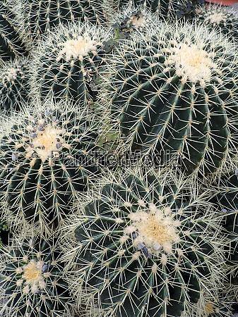 several clustering globular cacti