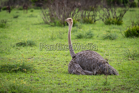 female common ostrich lying on short
