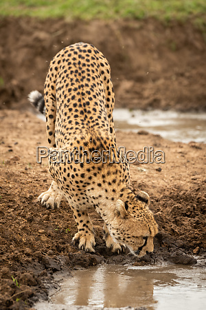 female cheetah stands drinking from water