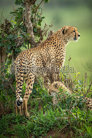 female cheetah stands on mound by