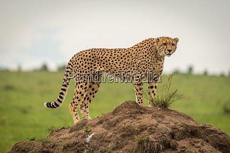 female cheetah stands on mound looking