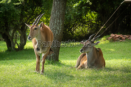 common eland stands by another lying