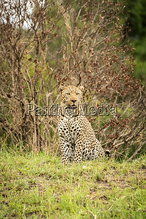 leopard sits in grass looking slightly