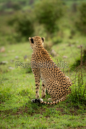 female cheetah sits on grass looking