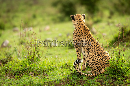 female cheetah sitting on grass looking