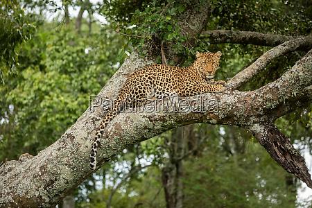 leopard looks down from branch dangling