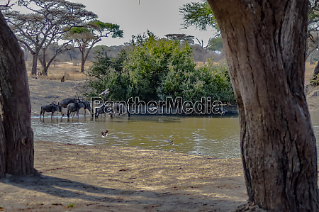 wildebeest at tarangire national park in