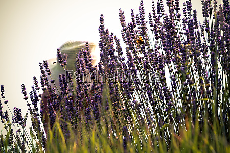 lavender harvest on a field
