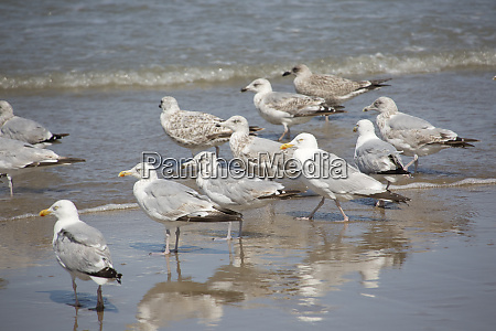 european herring gull larus argentatus in