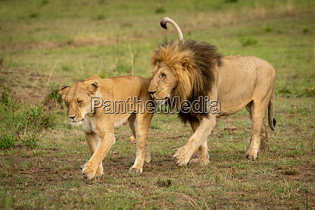 male and female lions cross grass