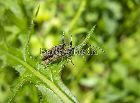golden bloomed grey longhorn beetles