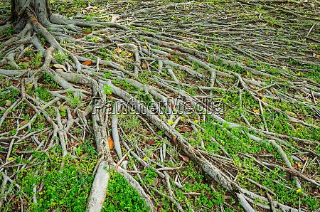 prop root of banyan tree and