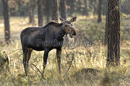female moose chews on a plant