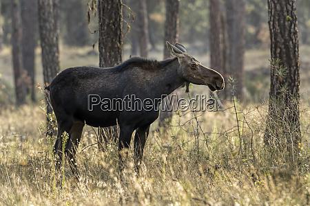 side profile of a female moose