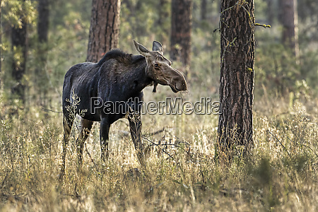 female moose in the woods