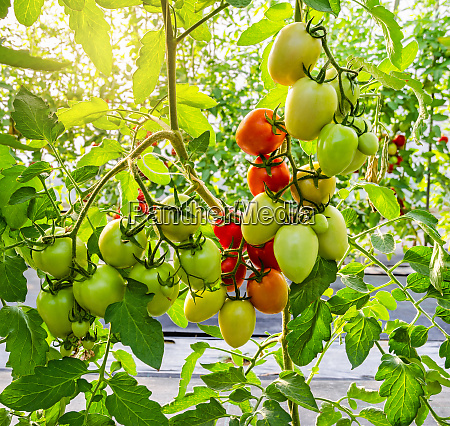unripe tomato growing on the vine
