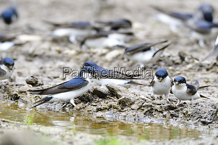 many common house martin in