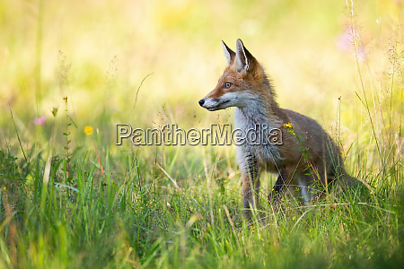 red fox looking aside in summer